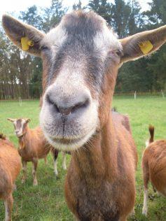 chèvres sédentaires