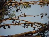 L'arbre à chauve souris
